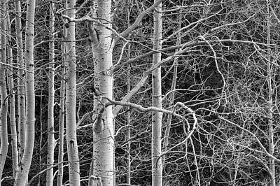 Aspen Trees Photograph - Don't Tangle With Me by Bill Sherrell
