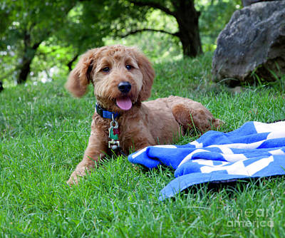 Golden Doodle Photograph - Doodle Day Afternoon by Madeline Ellis