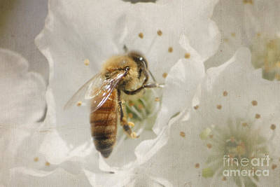 Nikki Vig Royalty-Free and Rights-Managed Images - Door County Cherry Blossom Honey Bee by Nikki Vig