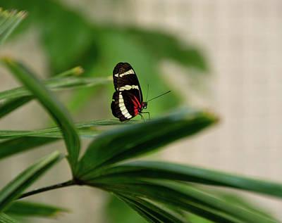 Doris Longwing Butterfly Art Print