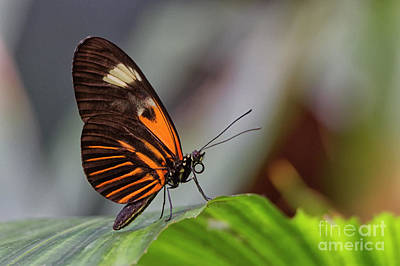 Photograph - Doris Longwing by David Cutts