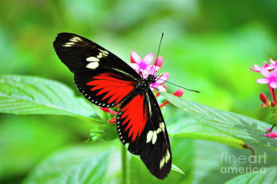 Photograph - Doris Longwing by Kathy Kelly