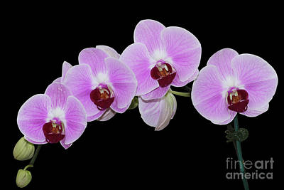 Photograph - Doritaenopsis City Girl Orchids #3 by Judy Whitton