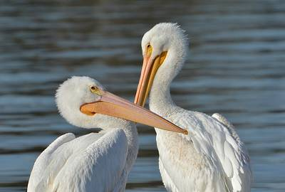 Photograph - Dos Pelicanos 2 by Fraida Gutovich