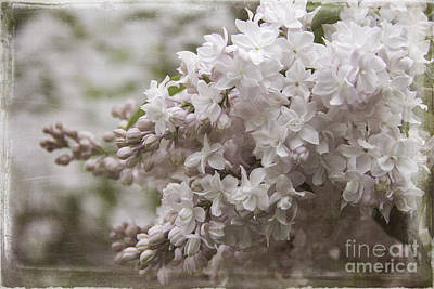 Photograph - Double Bloom Pink Lilac by Cindi Ressler