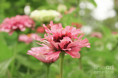 Photograph - Double Blooming Pink Zinniain Garden  by Susan Vineyard