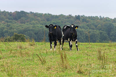 Photograph - Double Cattle Trouble by Jennifer White