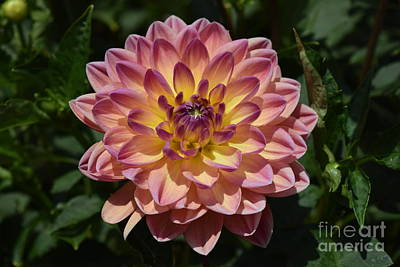 Photograph - Dusty Rose Dahlia by Jeannie Rhode
