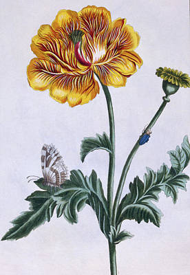 Double Drawing - Double Creeping Buttercup by Pierre-Joseph Buchoz