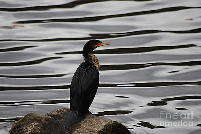 Photograph - Double-crested Cormorant 20121101_128 by Tina Hopkins
