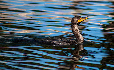 Photograph - Double Crested Cormorant  by Debra Forand