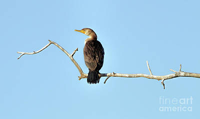 Photograph - Double-crested Cormorant by Elizabeth Winter