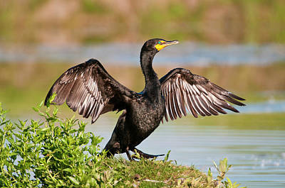 Photograph - Double-crested Cormorant by Gary Lengyel