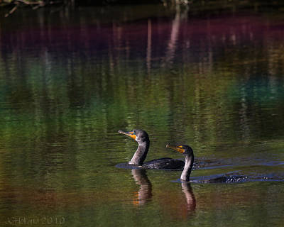 Photograph - Double-crested Cormorant by Joseph G Holland