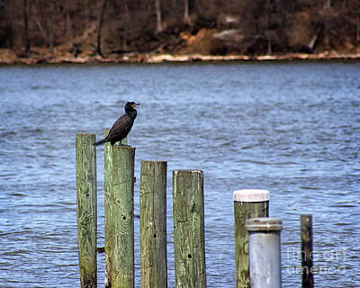 Photograph - Double-crested Cormorant by Karen Adams