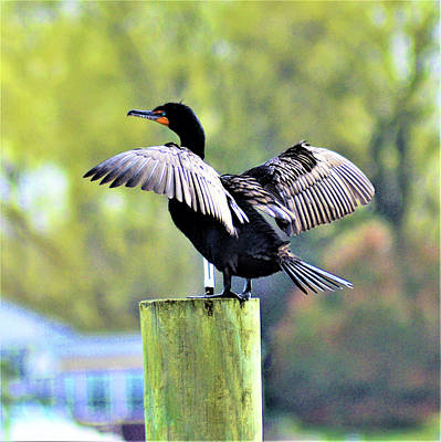 Photograph - Double-crested Cormorant by Kathy Kelly
