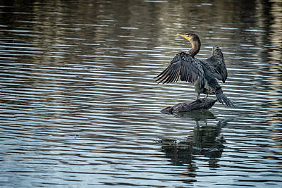 Photograph - Double-crested Cormorant Landscape by Belinda Greb