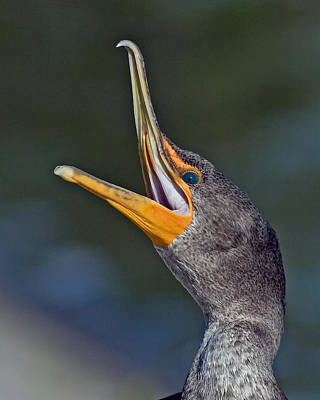 Double-crested Cormorant Photograph - Double-crested Cormorant by Larry Linton