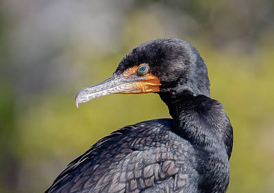 Photograph - Double-crested Cormorant by Phil Stone