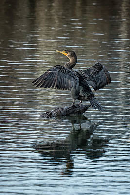 Photograph - Double-crested Cormorant Portrait by Belinda Greb