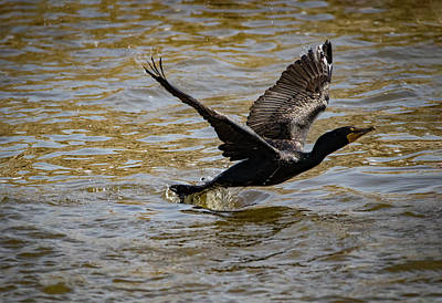 Photograph - Double Crested Cormorant by Ray Congrove