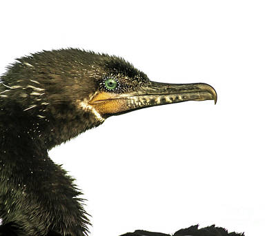 Double-crested Cormorant  Art Print by Robert Frederick