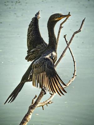 Double-crested Cormorant Photograph - Double Crested Cormorant  by Saija  Lehtonen