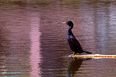 Photograph - Double-crested Cormorant  by Sharon Talson
