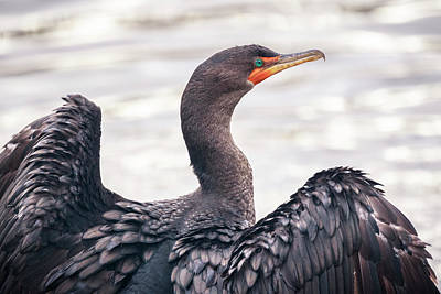 Photograph - Double-crested Cormorant by Windy Corduroy