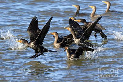 Double Crested Cormorants Art Print by Louise Heusinkveld
