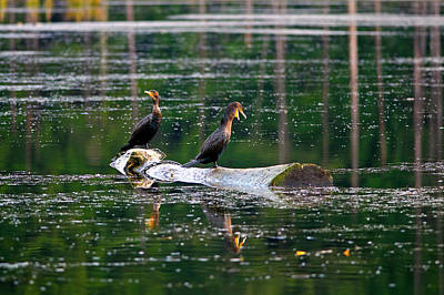 Photograph - Double-crested Cormorants On A Log by Sharon Talson