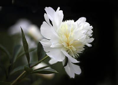 Photograph - Double Delight Peony by Jessica Jenney