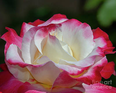 Photograph - Double Delight Rose 1 by Glenn Franco Simmons
