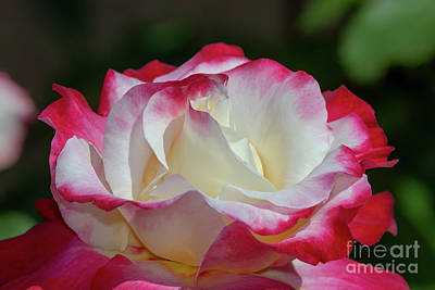 Photograph - Double Delight Rose 2 by Glenn Franco Simmons