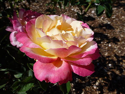 Photograph - Double Delight Rose by Claudia Goodell