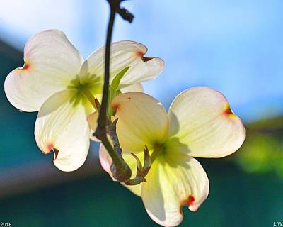 Photograph - Double Dogwood Blossoms by Lisa Wooten