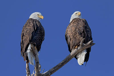 Photograph - Double Eagle by Susan Rissi Tregoning