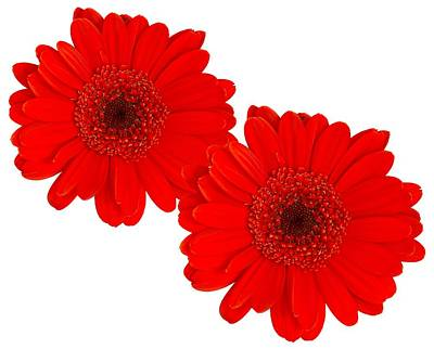 Gerbera Daisy Digital Art - Double Gerbera by Scott Carruthers