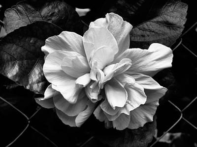 Double Hibiscus Flower Black White Print Art Print by Kathy Daxon
