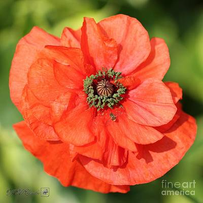 Photograph - Double Orange Poppy From The Angel's Choir Mix by J McCombie