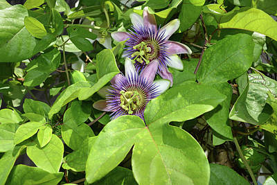 Double Passion Flowers Art Print by Aimee L Maher Photography and Art Visit ALMGallerydotcom