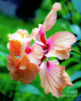 Photograph - Double Peach Hibiscus Two by Ken Frischkorn