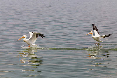 Photograph - Double Pelican Splash Down by James BO Insogna