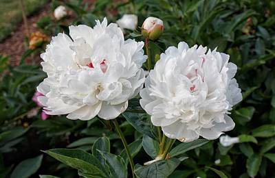 Photograph - Double Peonies by Chris Berrier