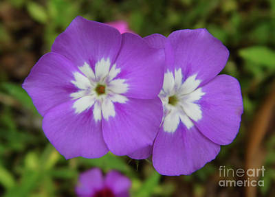 Photograph - Double Purple Phlox by D Hackett