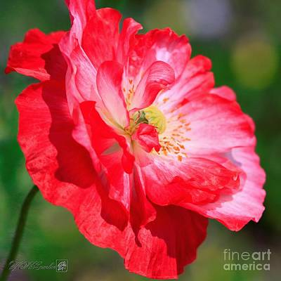 Photograph - Double Red And White Poppy From The Garden Gnome Mix by J McCombie