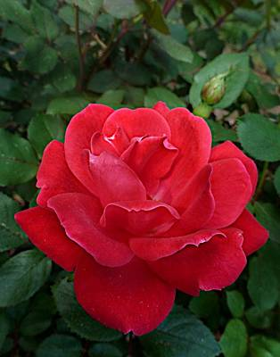 Photograph - Double Red Shrub Rose Flower by William Tanneberger