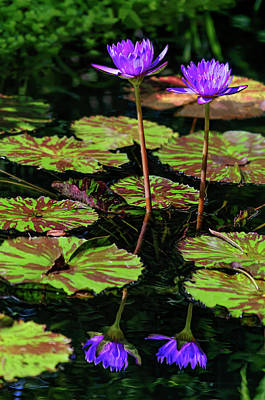 Photograph - Double Reflection - Water Lilies by Penny Lisowski