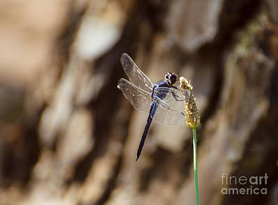Photograph - Double Ring Pennant Dragonfly by Donna Brown