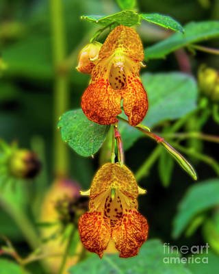 Photograph - Double Shot Of Jewelweed by Barbara Bowen